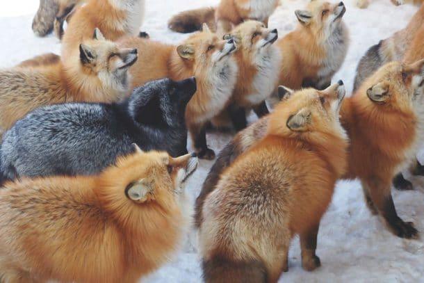 Village Japon renard