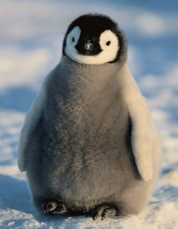 18 b b s animaux qui vont vous faire fondre d 39 amour - Pingouin rigolo ...