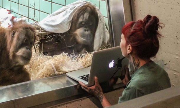 Les orangs-outans matchent aussi sur Tinder !