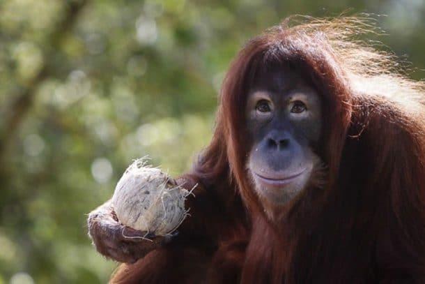 Un zoo néerlandais met au point une nouvelle technique pour faciliter la reproduction des orangs-outans