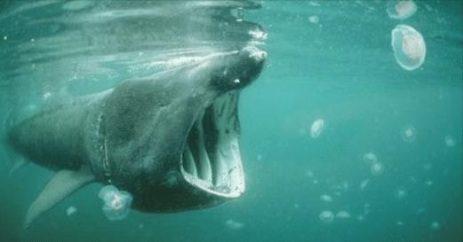 Un gros requin aperçu au large du Cap d'Agde