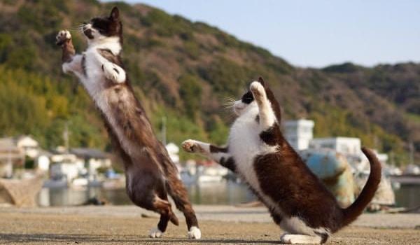 chats danseurs