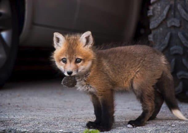 bebe renard sauve ferme a fourrure