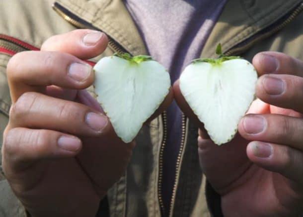 fraises blanches joyau blanc