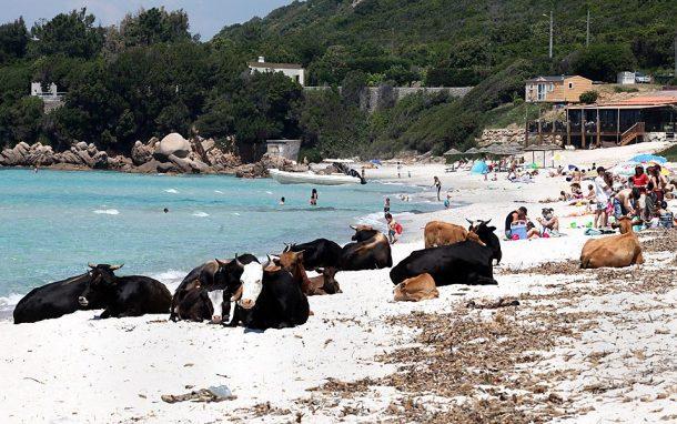 certaines plages corses sont peupl es de vaches sauvages pas toujours amicales d ailleurs. Black Bedroom Furniture Sets. Home Design Ideas