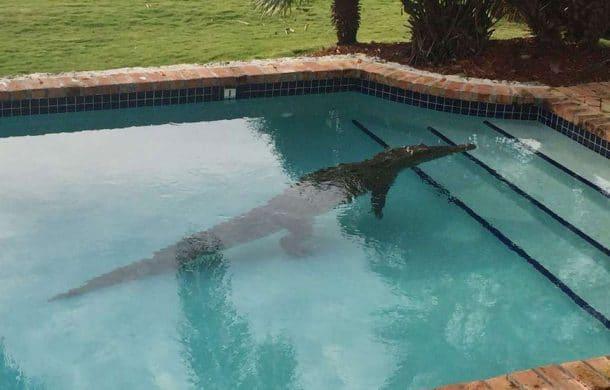 attaque par un crocodile dans une piscine