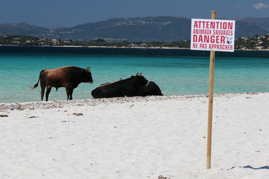 Super Certaines plages Corses sont peuplées de vaches sauvages, pas  WW74