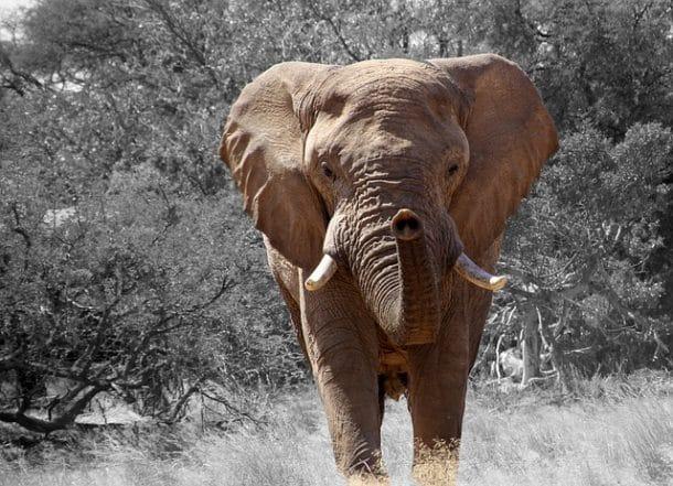 Un chasseur d'éléphant meurt piétiné par sa proie
