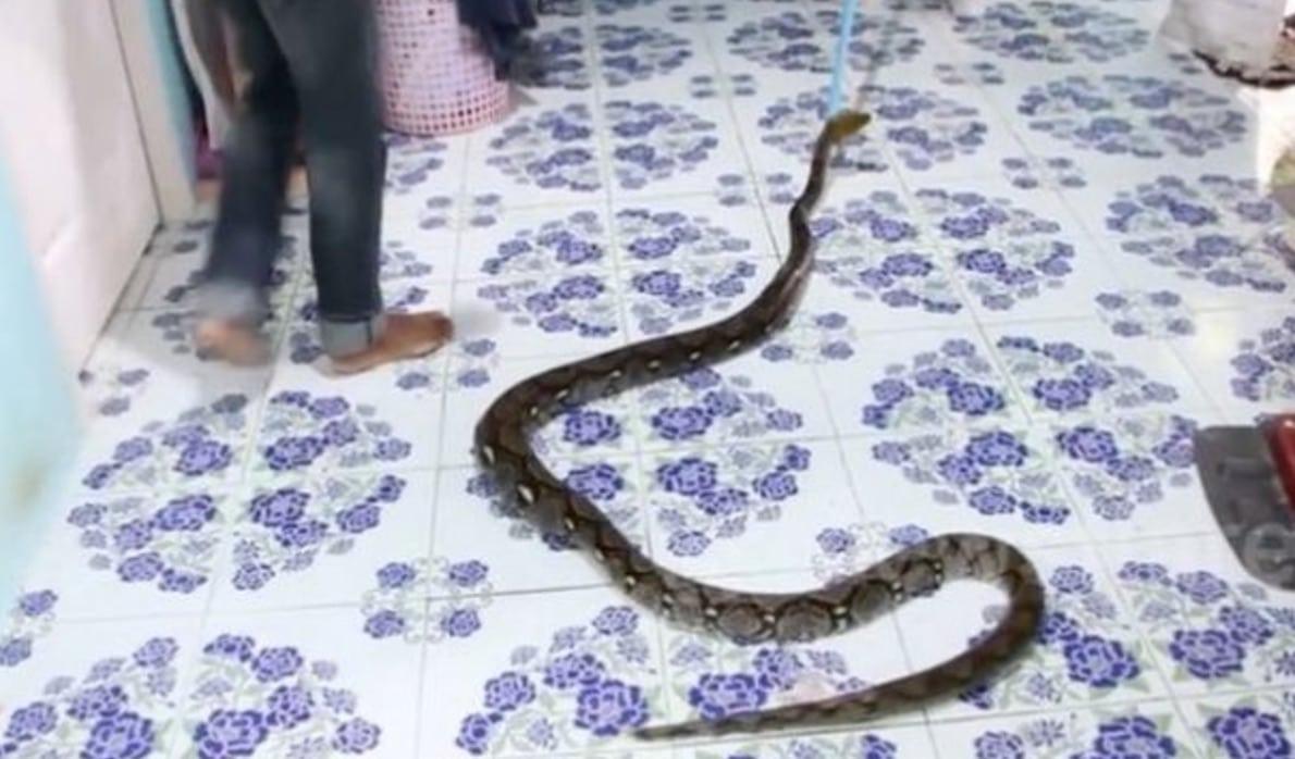 Un python de 3 m tres a tu son chat puis s 39 est r fugi - Mon fils ne veut pas dormir dans son lit ...