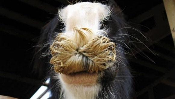 cheval moustache drole