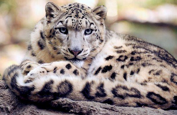 leopard des neiges blanc