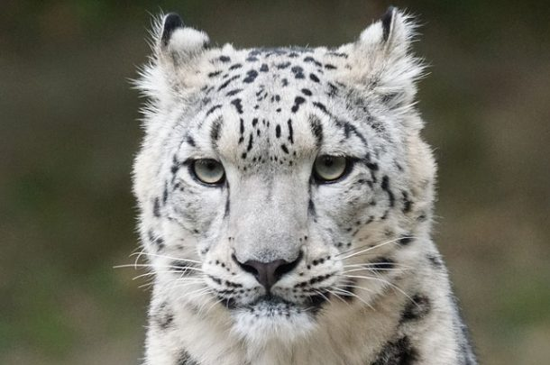 leopard des neiges adulte