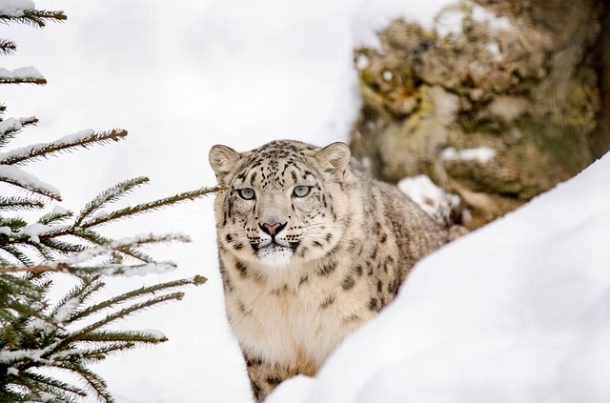 leopards des neiges