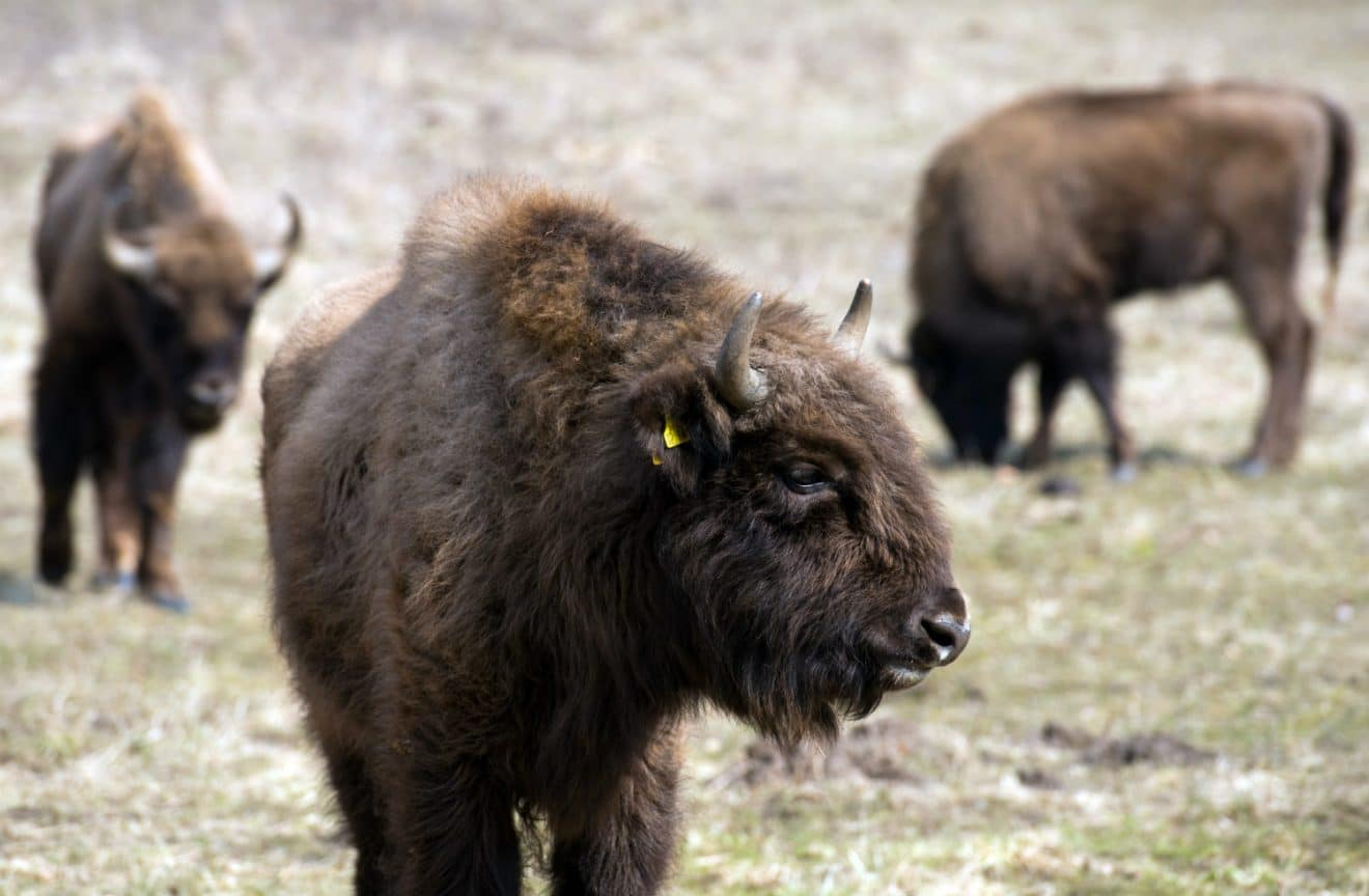Pour la premi re fois un bison sauvage est aper u en - Apprendre a dessiner un bison ...