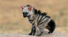 baby aardwolf