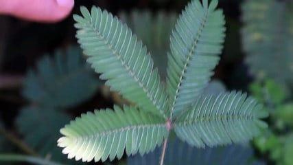Connaissez-vous la Sensitive ? Cette plante timide qui n'aime pas trop qu'on la touche… (vidéo)