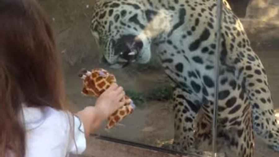 Heureusement qu 39 une vitre s pare ce jaguar de la petite for Le jardin qui bouge