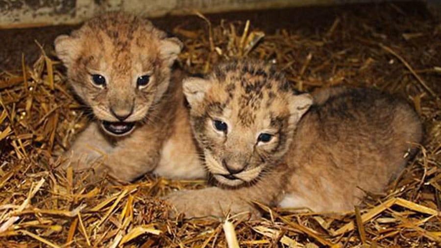 un zoo su dois avoue avoir tu 9 b b s lionceaux parce qu 39 ils taient en trop. Black Bedroom Furniture Sets. Home Design Ideas