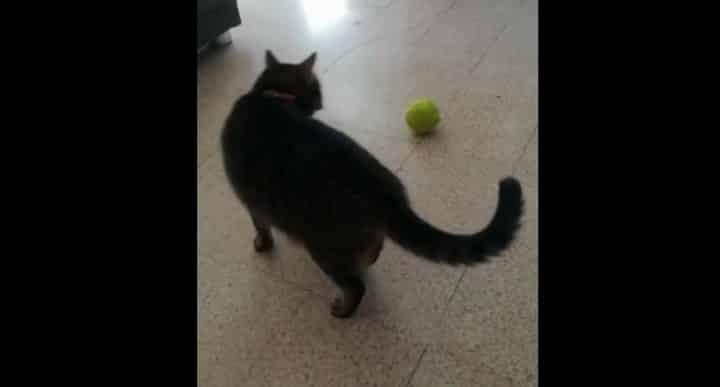 chat vs balle de tennis