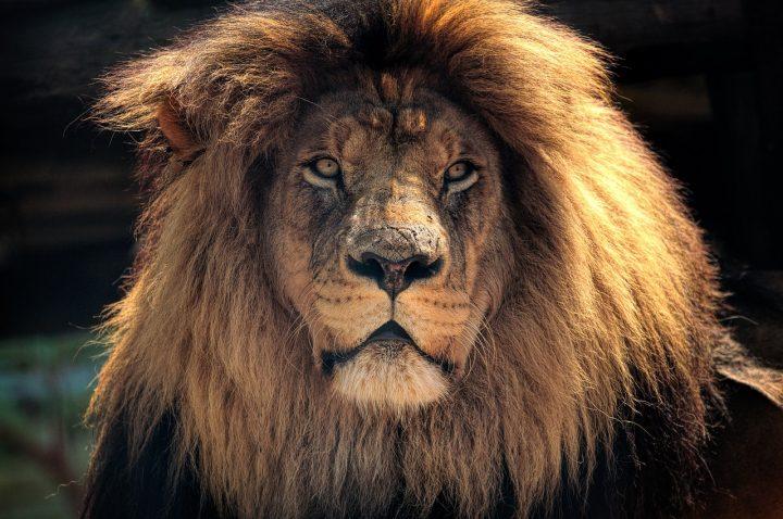 lions braconnier