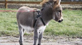 Tiny Tim le petit âne