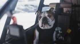 Ce bouledogue a peur de tout, sauf de voyager en hélicoptère !