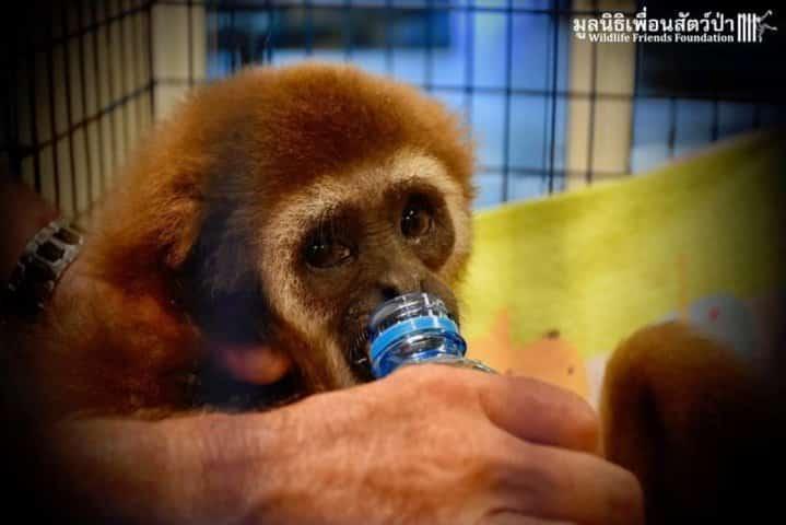 gibbon refuge