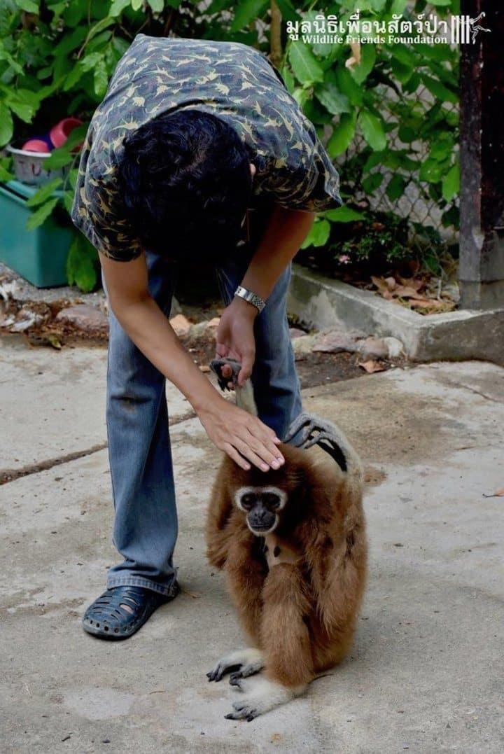 gibbon jub jib thailande