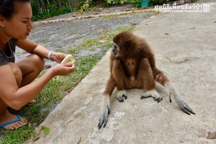 femelle gibbon
