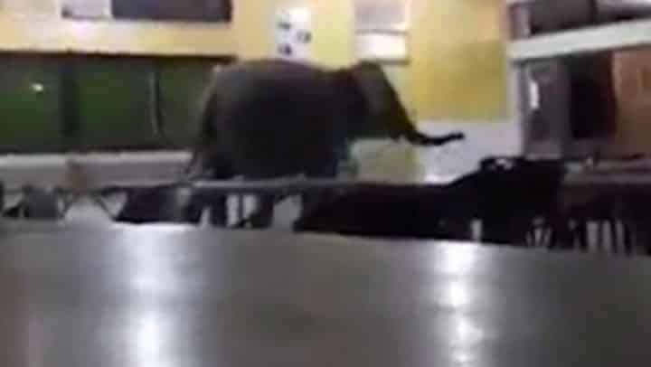 un éléphant vient manger à la cantine