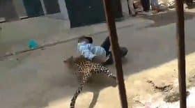 léopard attrape un homme