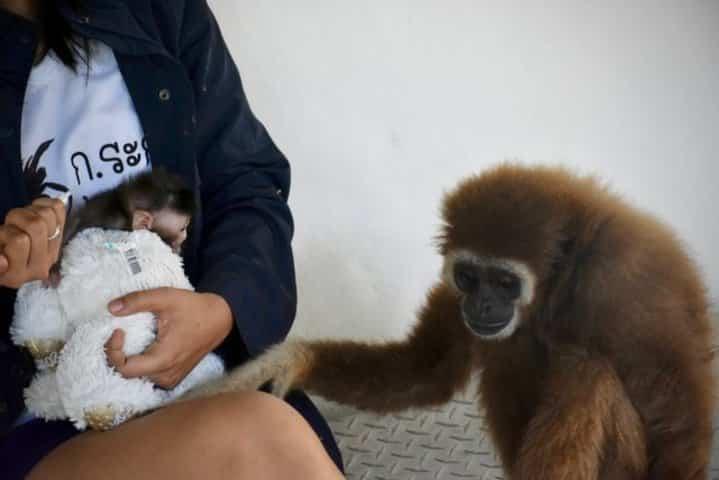 macaque à queue longue