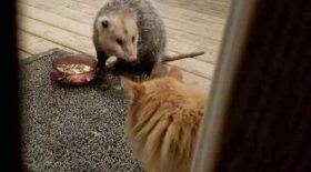 un chat face à un opossum