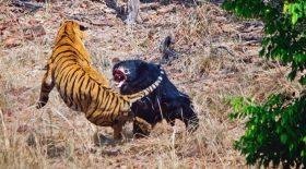 tigre versus ours