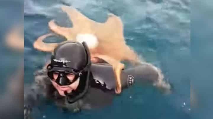 un poulpe géant attaque un plongeur
