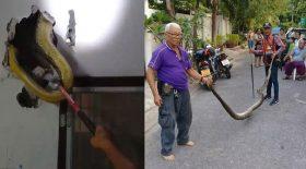 un python dans les murs de sa maison