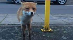 un renard vole un portefeuille