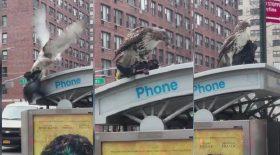 faucon mange un pigeon à Manhattan