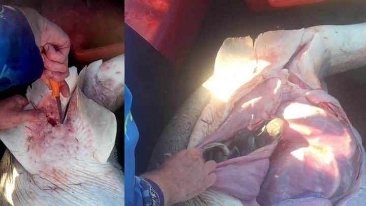 une césarienne sauve des bébés requins