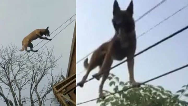 un chien funambule marche sur des câbles