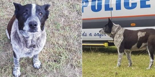 ce chien aveugle et sourd a sauvé la vie d'une petite fille en Australie