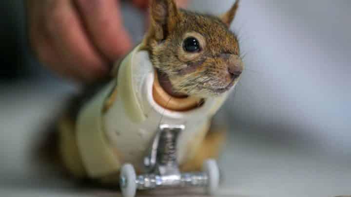 un écureuil amputé a une prothèse