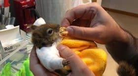 écureuil plâtré