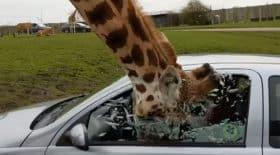 girafe coince sa tête dans la vitre