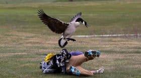 deux oies attaquent un golfeur