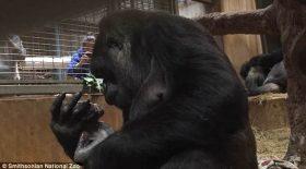 gorille nouveau ne