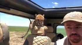 guépard saute dans une voiture safari