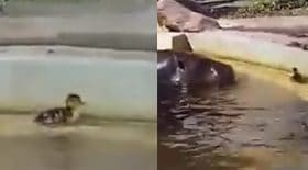 Des hippopotames viennent en aide à un petit canard