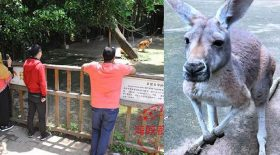 visiteurs lancent briques sur les kangourous