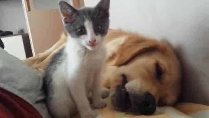 Un chaton tente de manger un chien la vid o ne pas rater vid o - Chat tout mignon ...